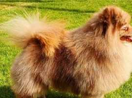 Pomeranians due in June
