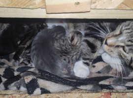 Serengeti Kittens looking for forever homes