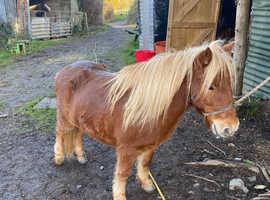 MIDI Shetland mare