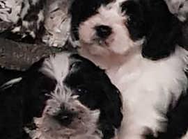Ready 18th Nov. Stunning cavapoo puppies