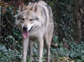 Anglo Wulfdog puppies - Authentic Wolfdogs