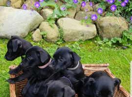 Beautiful black patterdale puppies