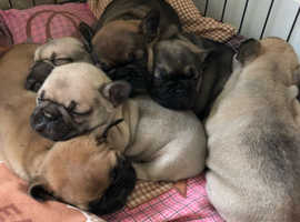 Amazingly Sweet Stunning Litter Of Quality French Bulldog Puppies