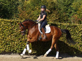 Beautiful 7YO Dressage Gelding