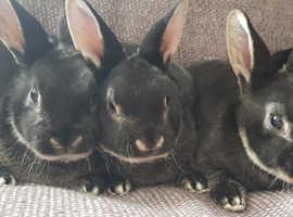 Standard Rex Rabbits