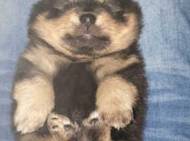 Pomeranian Black and Tan/blue skin