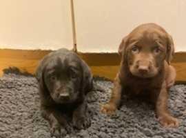 Labrador puppies ready now