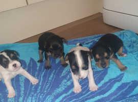 4 Beautiful border terrier x patterjacks puppies