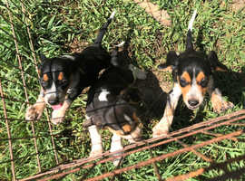 Beagle Puppies Kc Reg Ready To Go