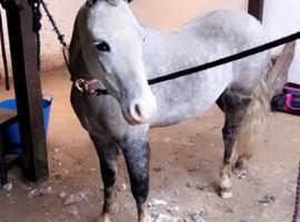 11.2hh welsh B pony