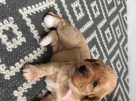 Cavapoochon pups for sale