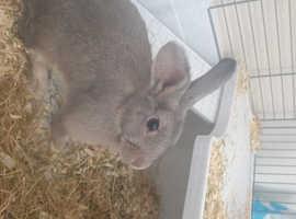 Grey mini lop