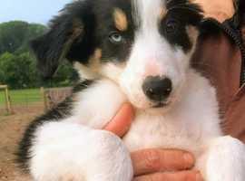 Beautiful Tri Coloured Border Collie Pups