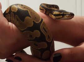 ball python 18 months old