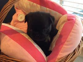 Fabulous Black Pug Puppy