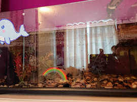 2 musk turtles and set up