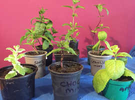 Aromatic herb plants for sale