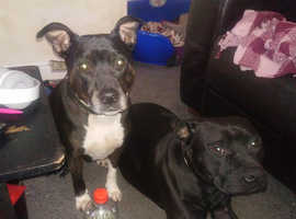 still looking for staffy pup