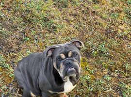 KC English Bulldog Female