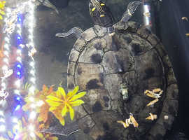 Breeding pair or Mississippi map turtle