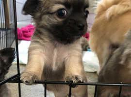Last 2 Chihuahua puppies