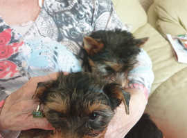 Stunning Yorkshire Terrier Puppies 9 weeks