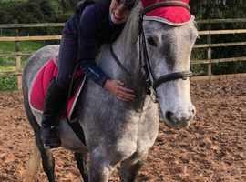 Stunning fully registered connemara mare