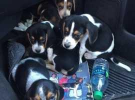 Beautiful Kc Reg Tricolour Beagle Puppies