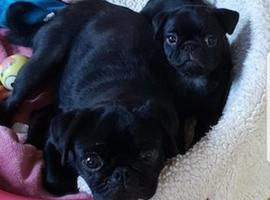 Stunning full black pug puppies,