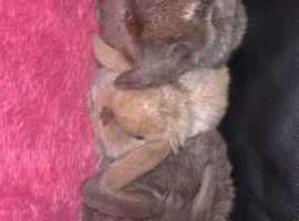 Pedigree mini lops