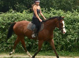 Laddie! 16hh 8 year old BOMBPROOF all rounder!