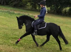 13.2 BOMBPROOF 5yr old