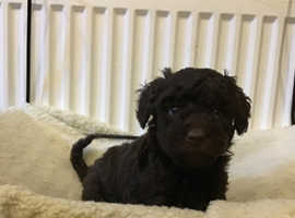 Black and Brown Toy Poodle Puppies