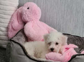 Pedigree bichon frise girl puppy