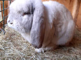 GORGEOUS HARLIE GIANT FRENCH LOP - BRAD - FOR STUD - PROVEN