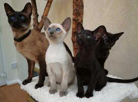 Active Pedigree Black Oriental Kitten last one available