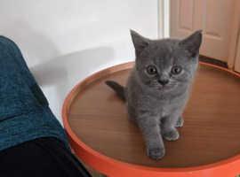 Stunning GCCF British Blue Kittens
