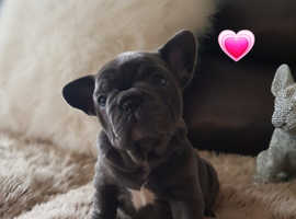 Stunning litter of french bulldogs