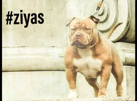 American bully for Stud