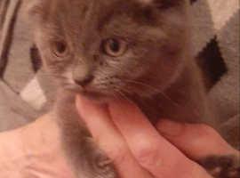 Scottish kittens to sale