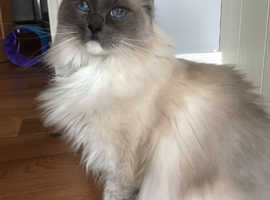 11 year old Ragdoll cat