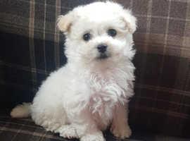 Bichon cross havanese pups * 1 girl left *