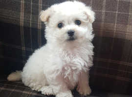 Bichon cross havanese pups