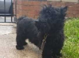 kc reg Scottish terrier stud only ch lines