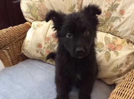 All black German shepherd male pup