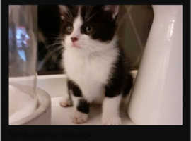Want kitten for my home ASAP
