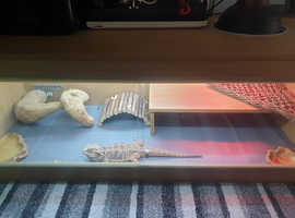 Male bearded Dragon & set up