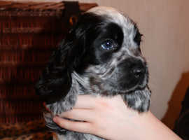 Beautiful Show Type Cocker Spaniel Puppies for sale