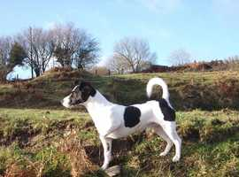 Smart Jack Russell at STUD! Proven!