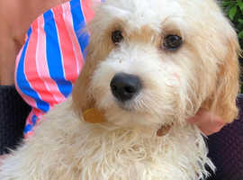 Cavachons for rehoming 6m